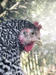 Foto des ersten Huhns in unserem Garten